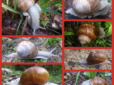 Invasion d'escargots de Bourgogne