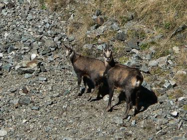 Chamois sous le Grand Replomb